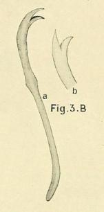Limnodrilus aurostriatus (chaeta)