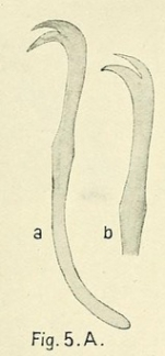 Limnodrilus parvus (chaeta)