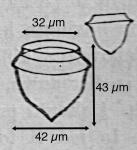 Ascampbelliella acuta (Kofoid & Campbell 1929)