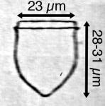 Ascampbelleilla tortulata (Jorgensen 1924)