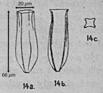 Amphorides laackmanni (Jorgensen 1924)