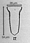 Canthariella pyrimidata (Jorgensen 1924)