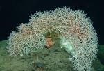 Madrepora oculata, 750 m Roatan, Honduras.  Photograph courtesy of NOAA DeepCAST I Expedition. Identification by P. Etnoyer.