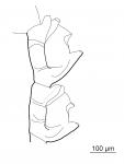 Taxella eximia, 2 hydrothecae, from Ronowicz et al. (2017)