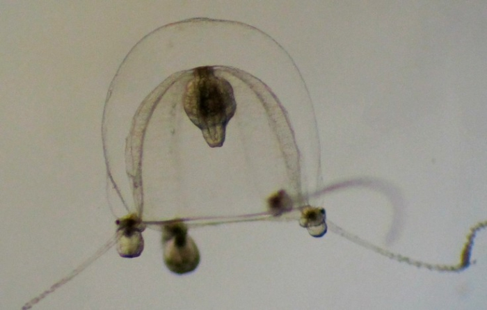 Codonium proliferum, female medusa from the English Channel