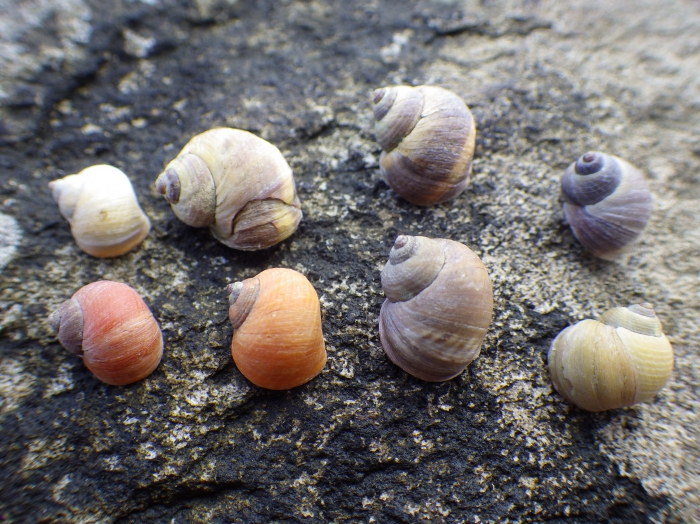 Rough periwinkles of different colors