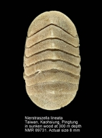 Nierstraszella lineata