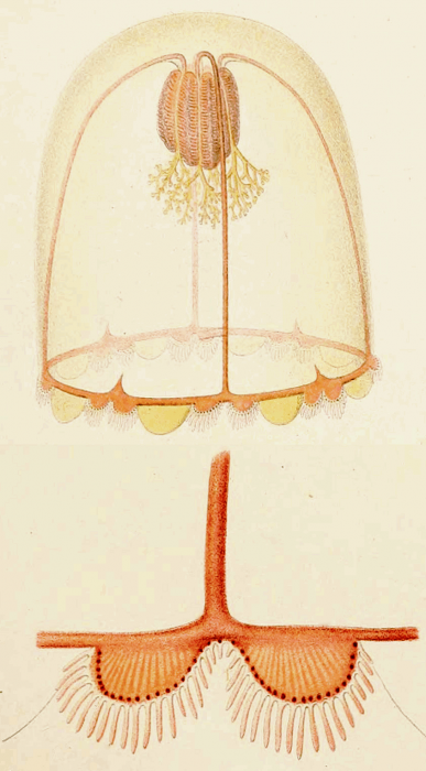 Chiarella centripetalis from Maas (1897)