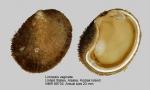 Limopsis vaginata