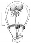 Thamnostoma tetrellum from Goy (1979)