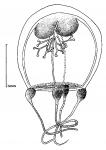 Thamnostoma tetrellum from Goy (1979)