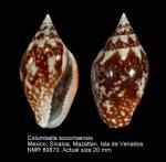 Columbella socorroensis