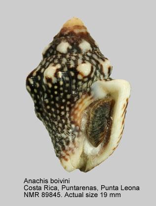 Anachis boivini