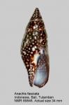Anachis fasciata