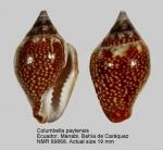 Columbella paytensis