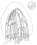 Calycospis lipi from van der Spoel & Bleeker (1988)