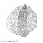 Acoelomorpha (acoelomorphs)