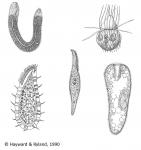 Chromista - Ciliophora
