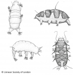 Tardigrada (water bears)