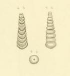 Nodosaria texana Conrad, 1857