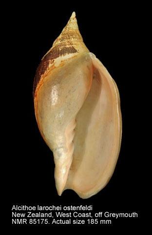 Alcithoe larochei ostenfeldi