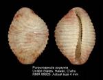 Purpurcapsula zzyzyxia