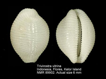 Trivirostra vitrina