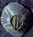 paarsgestreepte zeepok