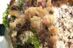 Bryozoa (moss animals)