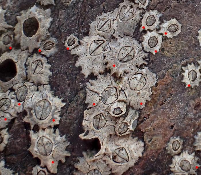 Chthamalus stellatus