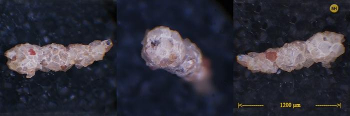 Reophax arctica