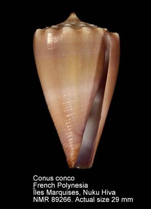 Conus conco