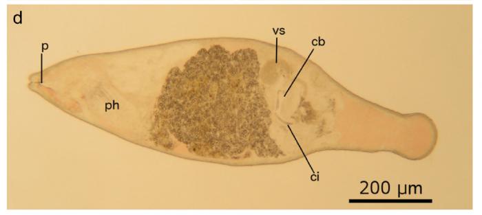 C. sarnenis (Fig. 3 from Gobert et al., 2017)