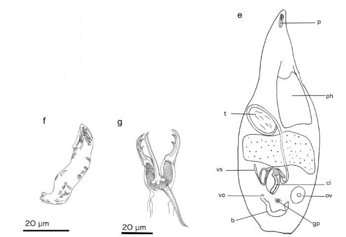 Cheliplanilla cavavulcana (Fig. 4 from Gobert et al., 2017)