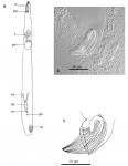 P. martinezi (Fig. 2 from Gobert et al., 2017)