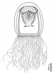 Turritopsis polycirrha from Schuchert (2012)