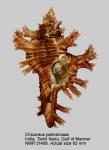 Chicoreus palmarosae