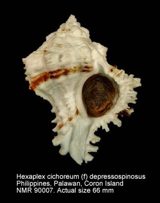 Hexaplex cichoreum