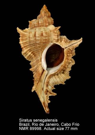Siratus senegalensis