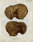 Spongia foliacea Esper, 1797