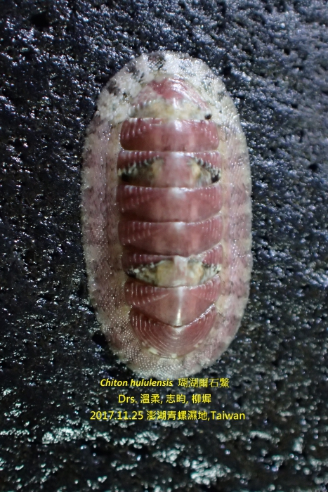 Chiton hululensis (E. A. Smith, 1903)