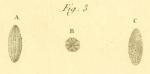 Oryzaria boscii Defrance in Bronn, 1825