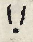 Spongia membranacea Esper, 1794