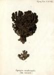Spongia membranosa sensu Esper, 1794