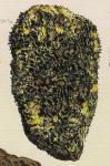 Spongia membranosa Pallas, 1766