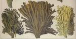 Spongia oculata sensu Pallas, 1766