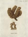 Spongia pertusa Esper, 1794
