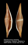 Phenacovolva nectarea