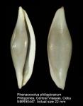 Phenacovolva philippinarum