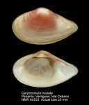 Caryocorbula ovulata